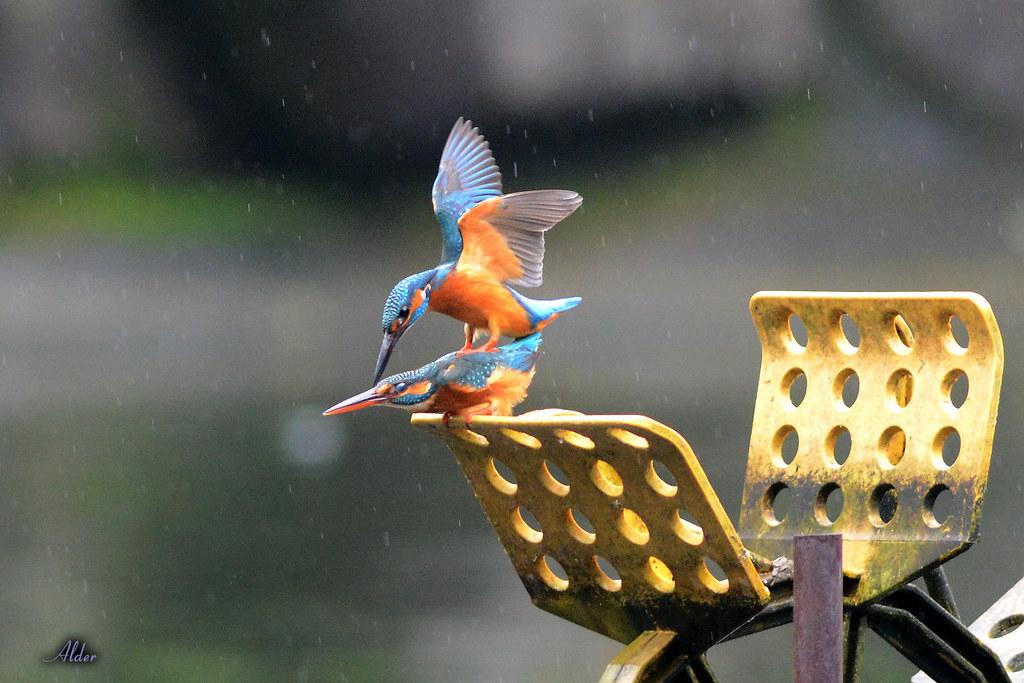 Common_Kingfisher_1441