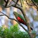 Australian King Parrot