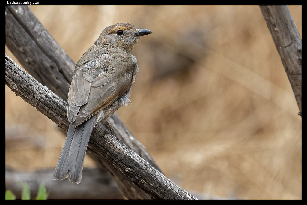 Grey Shrikethrush: Juvenile+=============+I really love the rich sounds of these birds, the scientific name 'harmonica' 'is apt.