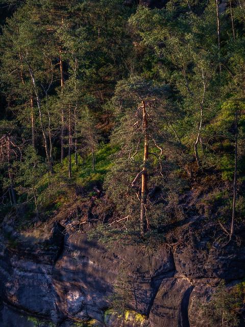 Cliff pine tree -  Klippenkiefer