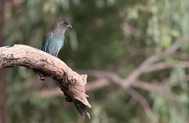 A Young Dollar bird