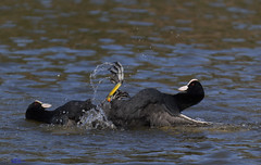 Coots territory  fight.