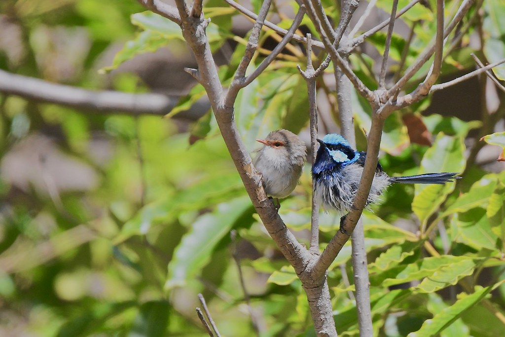Mr and Mrs Superb Fairy-wrens