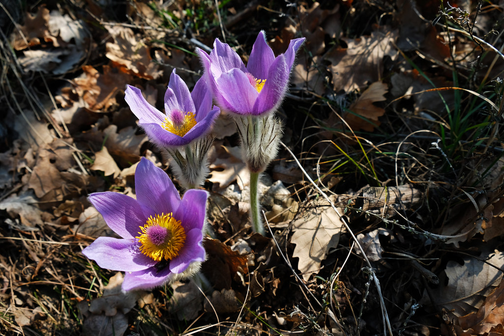 Pasque flowers in the Buda Hills, Hungary