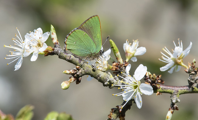 Green Hairstreak (Callophrys rubi).