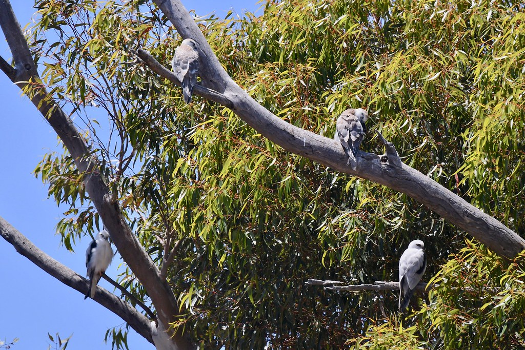 Black-shouldered Kite Family (Mum and Dad waiting on the young to move out .