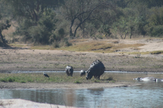 Hippos covered in Oxpeckers