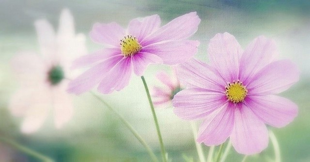 Cosmos candy rose