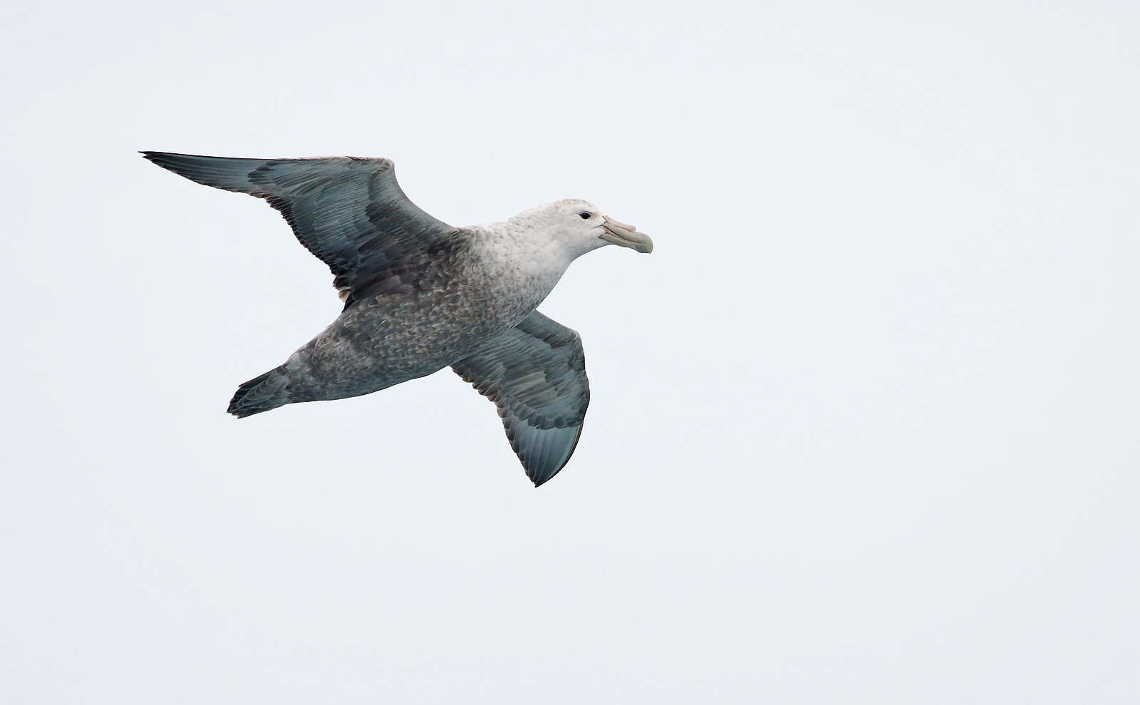 Southern Giant Petrel - adult