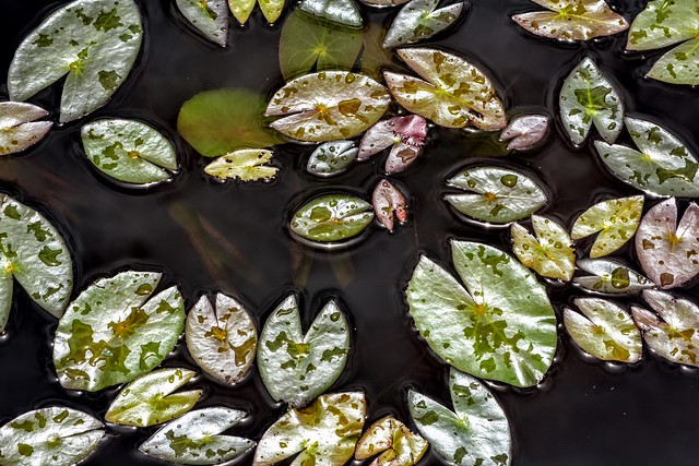 Lily Pads After Rain