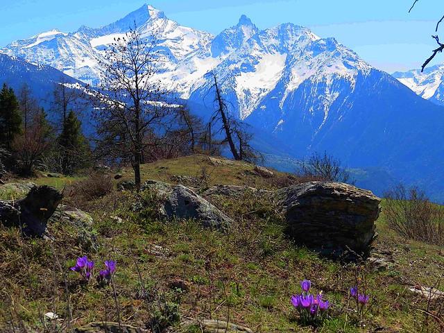 Val d'Aosta-Aosta Tal: Kuhschellen (Pulsatila) vor Gran Paradiso