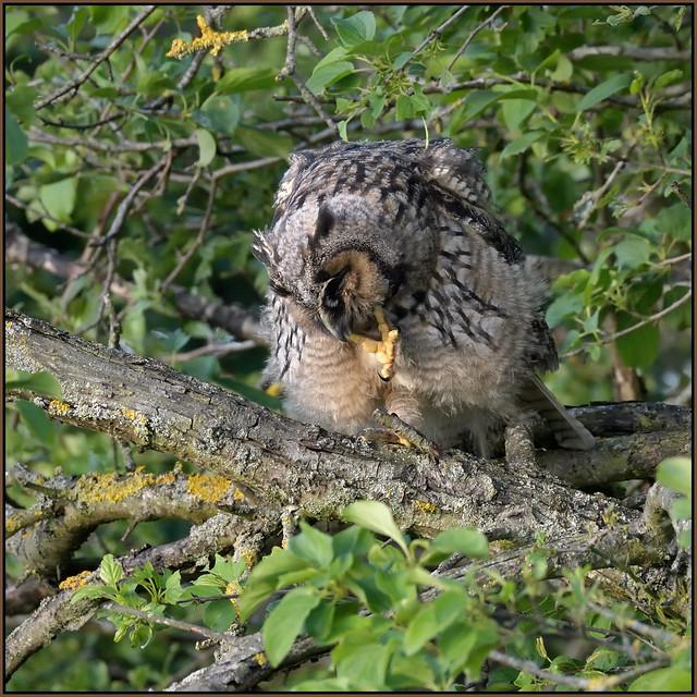 Long-eared Owl (image 2 of 2)