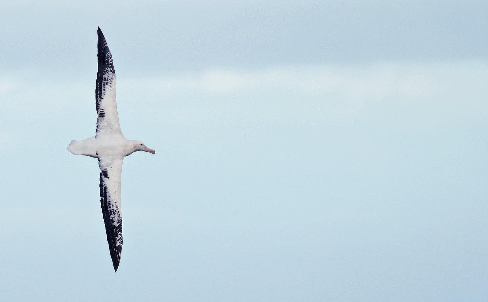 Snowy Wandering Albatross