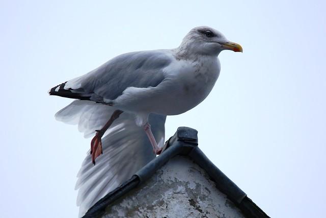 IMG_5571 Seagull, Portree, Scotland