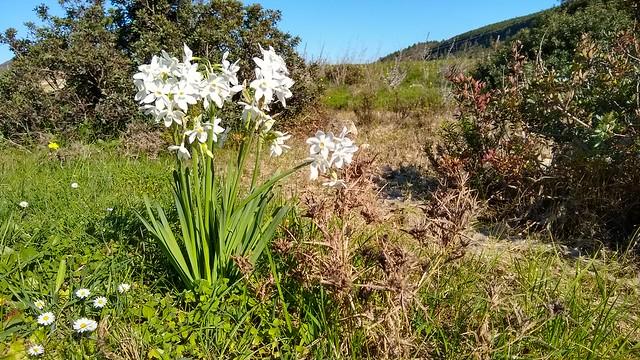 Wild flowers, local countryside, Boca do Rio, Algarve