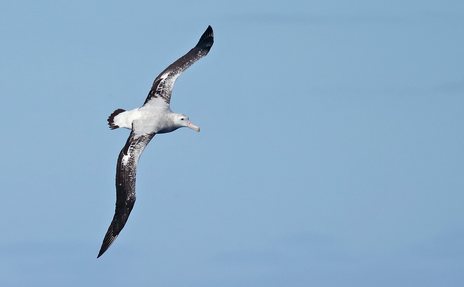 Probable Gough Wandering Albatross