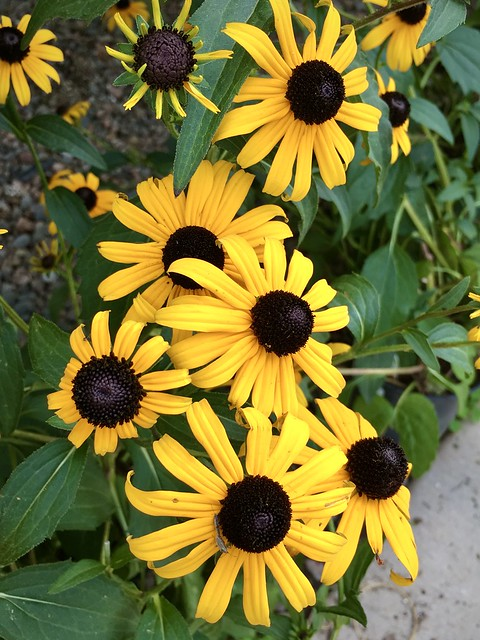 A Glimpse at my Coneflowers