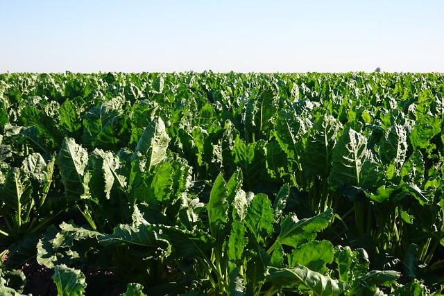 Irrigated Crop SR602080