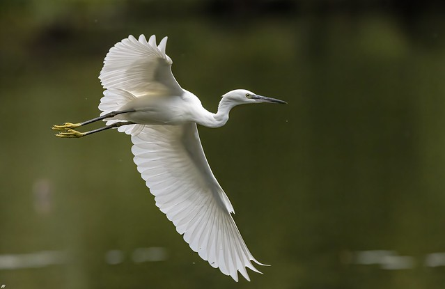 Little Egret, Wollaton Park.