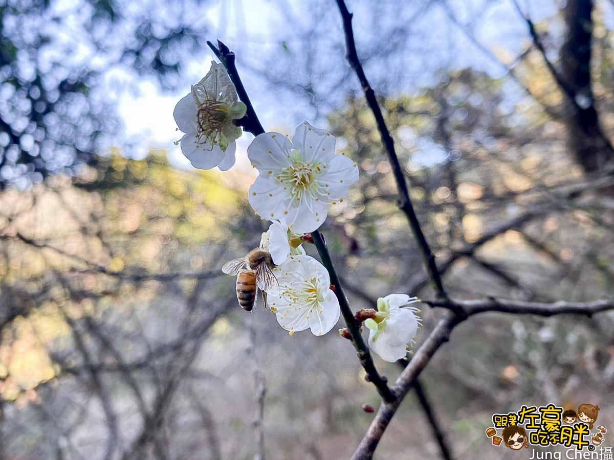 六龜溫泉公園 梅花開-7