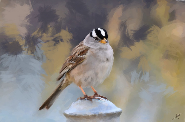 White-crowned Sparrow Study