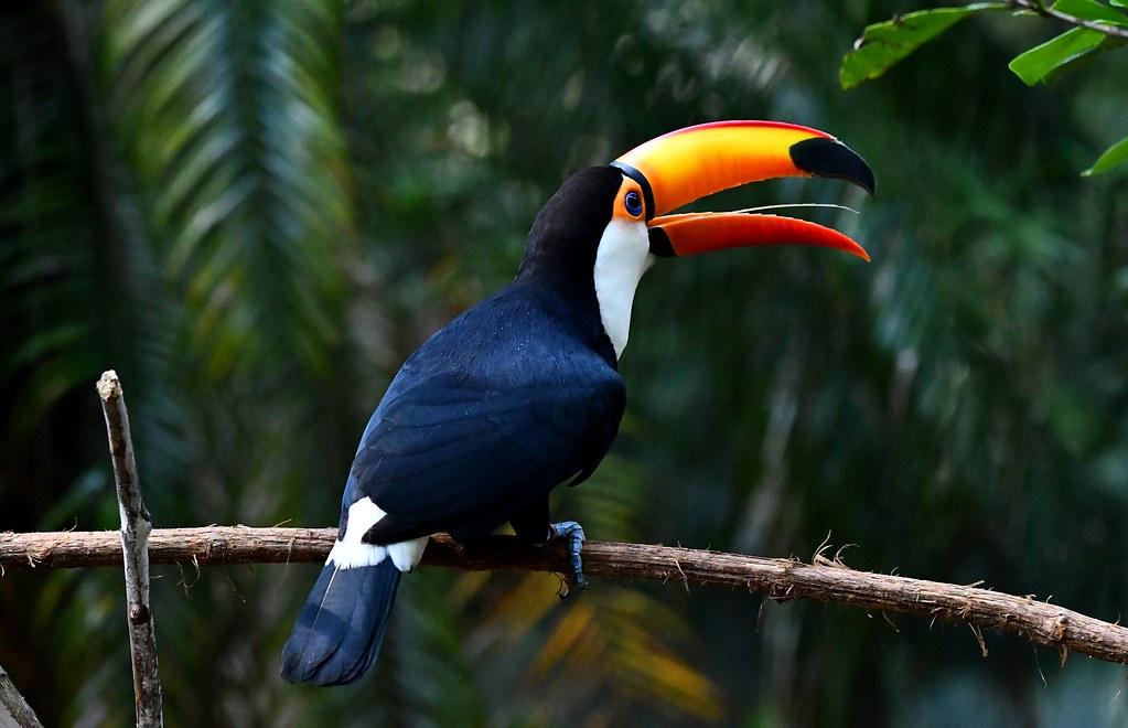 Toco Toucan (Ramphastos toco)  - Foz do Iguazu bird park, Brazil.