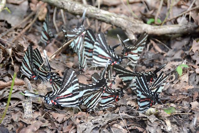 Zebra Boys Puddling
