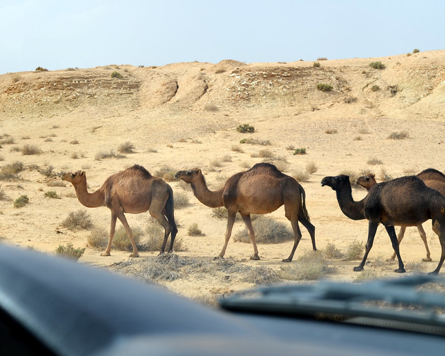 Camellos cruzando una carretera en Túnez