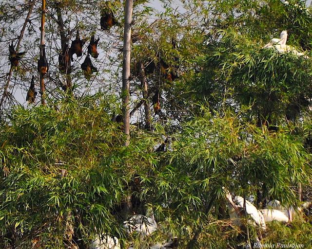 Nesting Spot Billed Pelicans with sleeping Fruit Bats