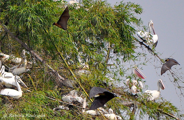 Roosing place for Spot Billed Pelicans with Fruit Bats