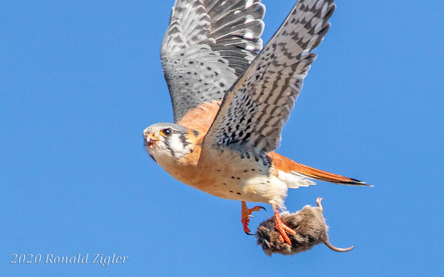 American Kestrel in-flight with prey IMG_1210