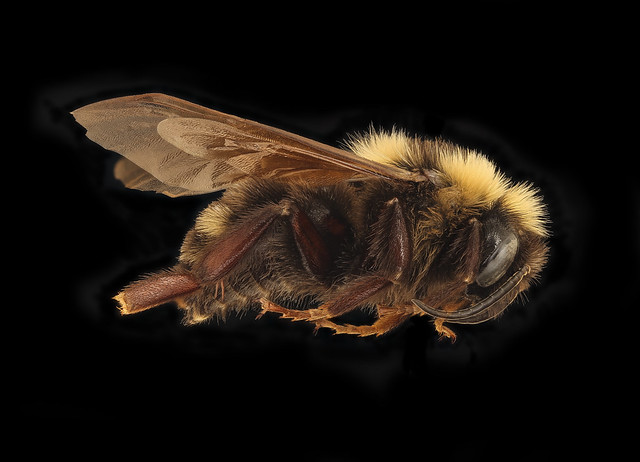 Bombus variabilis, m, right, St. Mary's Co, MD_2019-03-23-13.58.16 ZS PMax UDR