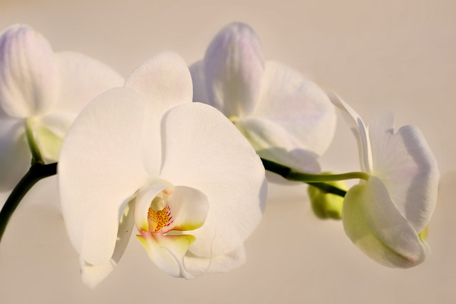 Re-blooming orchid