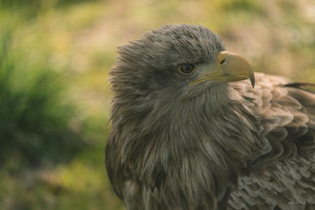 Evan the Eagle.