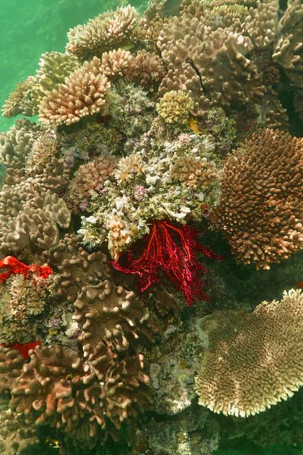 Corals in the Lau islands