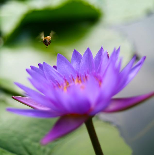 蜂採 / Busy bee