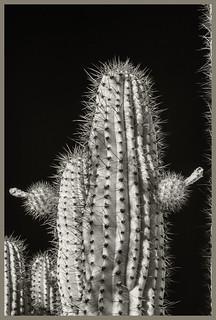 Desert Museum #3 IR 2020; Organ Pipe Cactus with Fruit