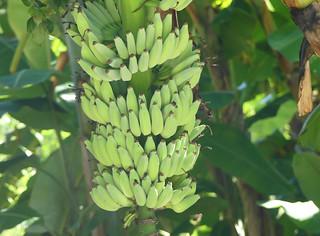 Banana/Plantain (Musa sp.)