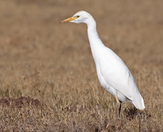 Cattle Egret hunting in field