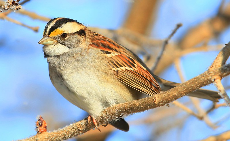 white-throated sparrow at Lake Meyer Park IA 653A0353