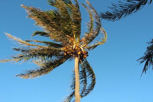Cocos nucifera in the wind