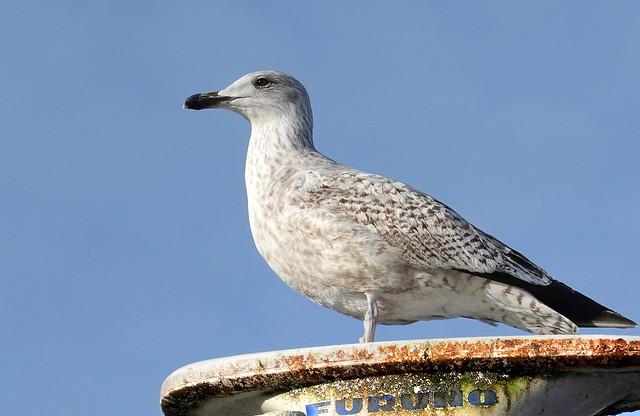 DSC02956 Seagull Möve Möwe Wieck RX100M6 ClearZoom