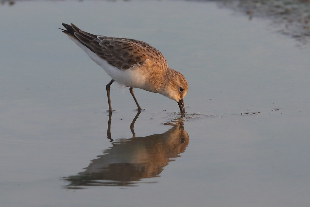 Little Stint   Calidris minuta