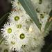 Eucalyptus staeri - Photo (c) Philip Bouchard, algunos derechos reservados (CC BY-NC-ND)