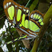 Siproeta stelenes - Malachite