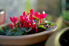 Flower pots and red cyclamens