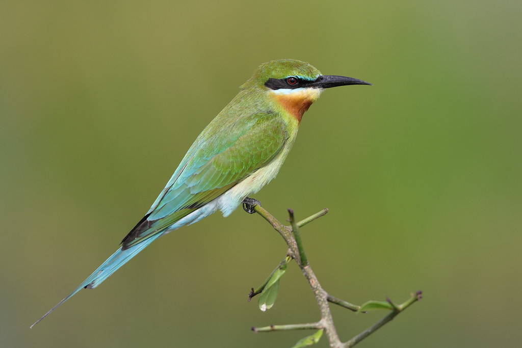 Blue-tailed Bee-eater  Merops philippinus