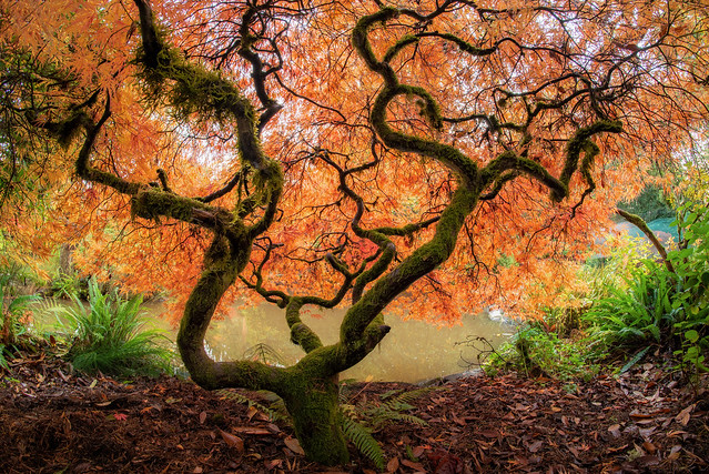 Japanese maple in peak fall color