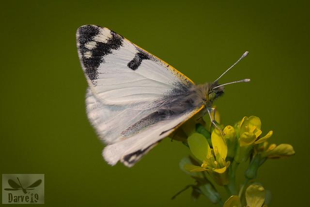 Gran Canaria Green-stripped White - Euchloe belemia grancanariensis