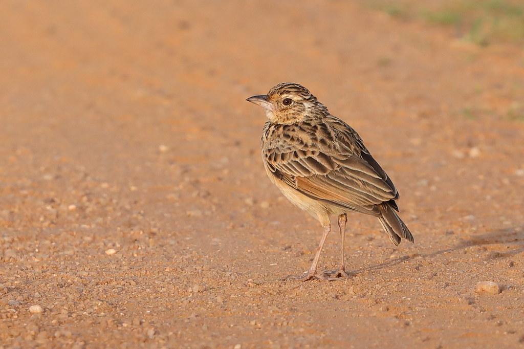 Jerdon's Bush Lark Mirafra affinis